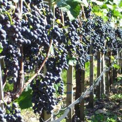 Svátek zarážení Vinohradu